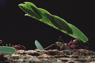 Leafcutter Ants Carrying Leaves Barro Poster by Mark Moffett