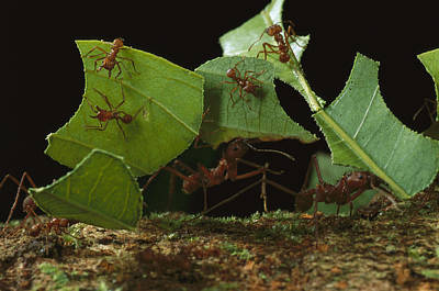 Leafcutter Ants Carrying Leaves French Poster by Mark Moffett