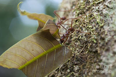 Leafcutter Ants Poster by William H. Mullins