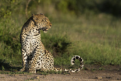 Leopard Sabi-sands Game Reserve South Poster by Sergey Gorshkov