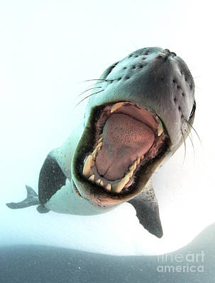Leopard Seal Mouthing Its Own Poster by Steve Jones