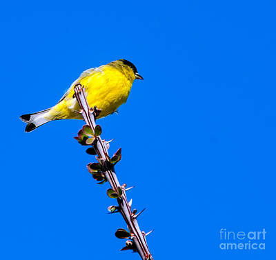 Lesser Goldfinch Poster by Robert Bales