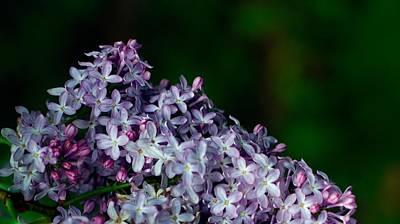 Lilac 4 Poster by Simone Ochrym