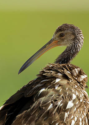 Limpkin, Aramus Guarana, Viera Poster by Maresa Pryor