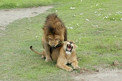 Lion And Lioness Mating Poster