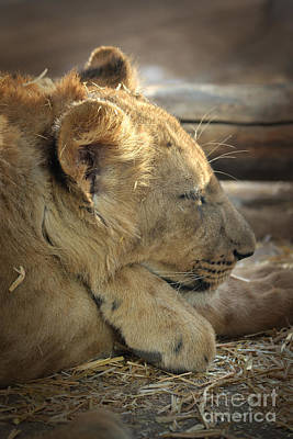 Lion Cub Dozing In The Sun Poster