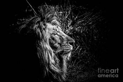 Lion Poster by Traven Milovich