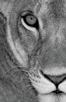 Lioness Close-up Tanzania Africa Poster