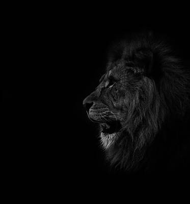 Lions Roar Poster by Martin Newman