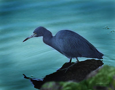 Little Blue Heron Poster by Joseph G Holland