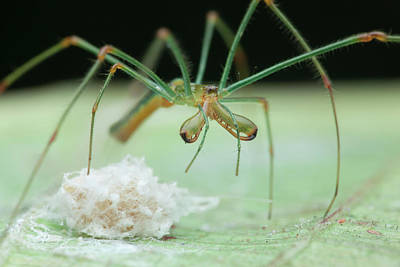 Long-jawed Orb Weaver And Eggs Poster by Melvyn Yeo