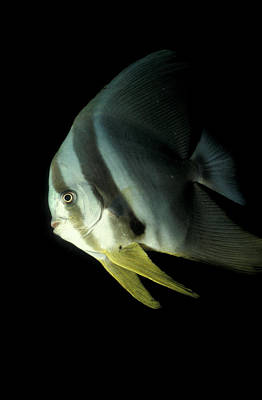 Longfin Spadefish, South Ari Atoll Poster