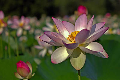 Poster featuring the photograph Lotus Flower by Jerry Gammon