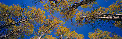 Low Angle View Of Aspen Trees, Eastern Poster by Panoramic Images