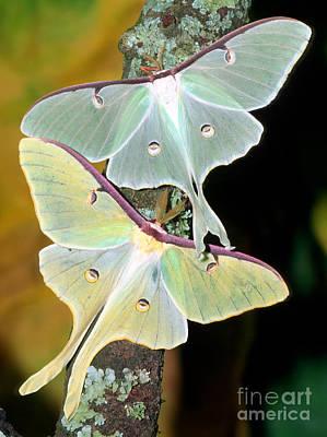 Luna Moths Poster by Millard H. Sharp
