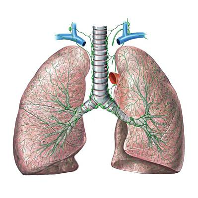 Lymphoid System Of The Lungs Poster