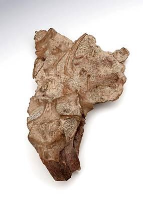 Lystrosaurus Fossil Poster
