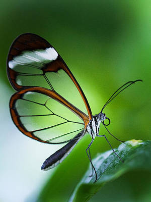 Macro Photograph Of A Glasswinged Butterfly Poster by Zoe Ferrie