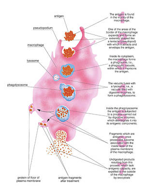 Macrophage Digesting Antigen Poster by Asklepios Medical Atlas
