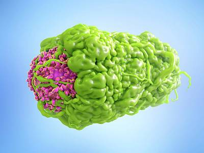 Macrophage Engulfing Cancer Cell Poster by Maurizio De Angelis