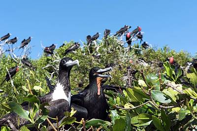 Magnificent Frigatebirds Poster