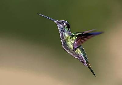 Magnificent Hummingbird In Flight Poster by Nicolas Reusens