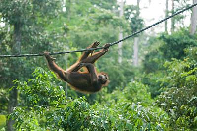 Malaysia, Borneo, Sepilok, Orangutan Poster by Anthony Asael