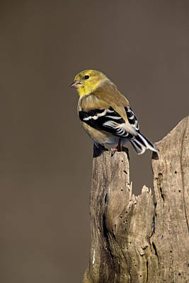 Male American Goldfinch Poster