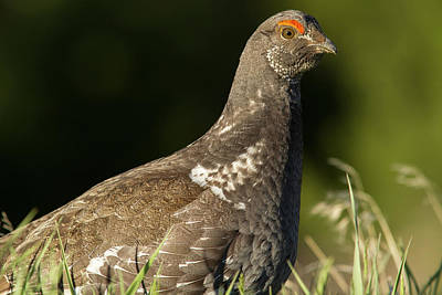 Male Blue Grouse At The National Bison Poster