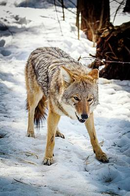 Male Coyote In Snow Poster by Paul Williams