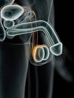 Male Penis Poster by Sciepro