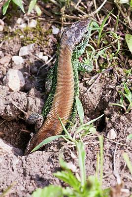 Male Sand Lizard Poster by Bob Gibbons