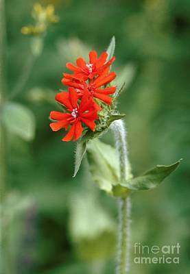 Maltese Cross Lychnis Chalcedonica Poster by Vaughan Fleming
