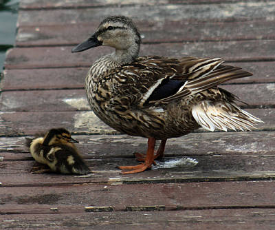 Mama Duck And Ducklings Poster by Pamela Walton