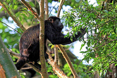 Mantled Howler Monkey (alouatta Palliata Poster by Miva Stock
