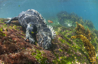 Marine Iguana Feeding On Algae Punta Poster