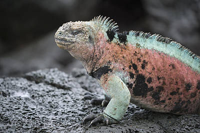 Marine Iguana Male In Breeding Colors Poster by Tui De Roy