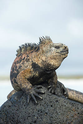 Marine Iguana Male Turtle Bay Santa Poster by Tui De Roy
