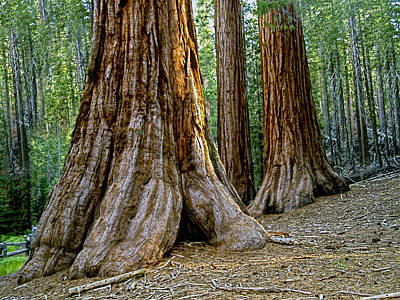 Mariposa Grove Poster by Bill Gallagher