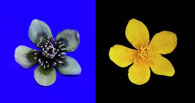 Marsh Marigold In Uv Light And Daylight Poster
