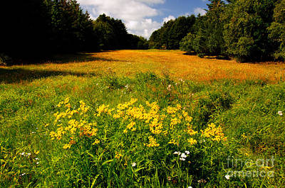 Meadow Filled With Yellow Flowers Poster