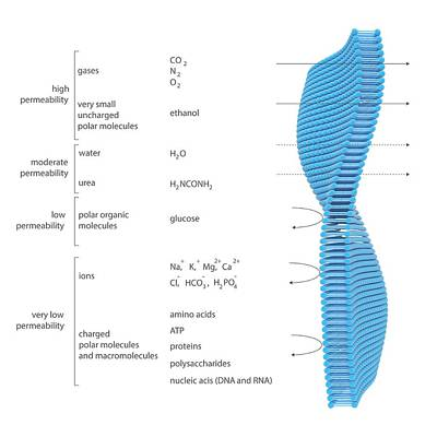 Membrane Permeability Poster by Science Photo Library