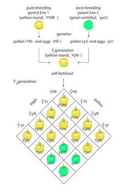 Mendelian Genetics Poster