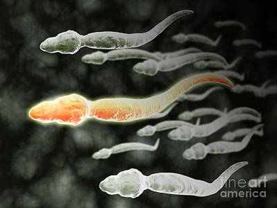 Microscopic View Of Sperm Traveling Poster by Stocktrek Images