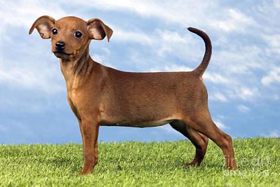 Miniature Pinscher Puppy Poster
