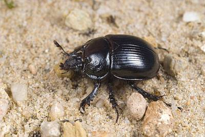 Minotaur Beetle Poster by Science Photo Library