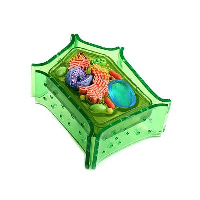 Model Of A Plant Cell Poster