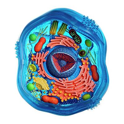 Model Of An Animal Cell Poster