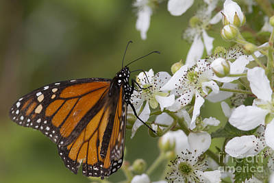 Monarch Butterfly On Blackberry Poster by Linda Freshwaters Arndt