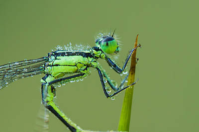 Morning Damselfly Poster by Mircea Costina Photography
